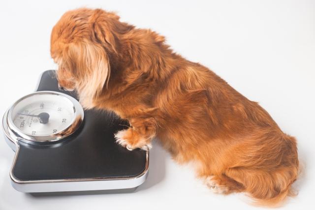 体重が気になるダイエットしたい犬